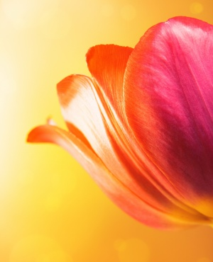 Beautiful tulip on bright yellow background.