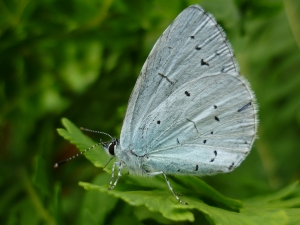 stockvault-holly-blue-butterfly115511