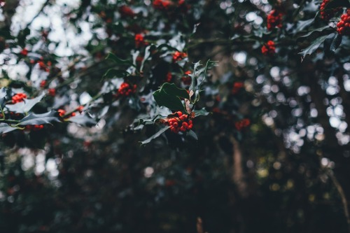 holly-berries-1082138_1920