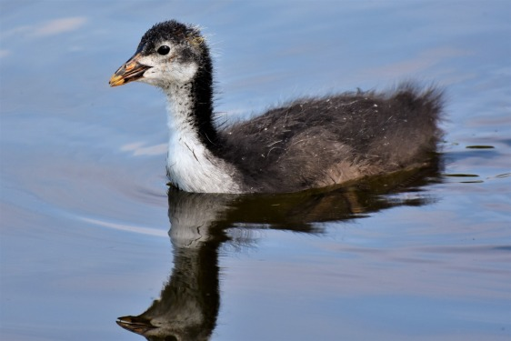 coot-3806011_1920